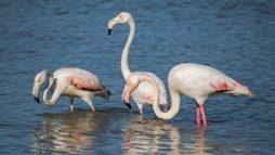 flamingo_rozovyj